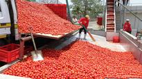 Dangote Tomato Processing Factory relies on local fresh tomatoes for operations