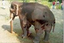 Elephant undergoes four-hour operation