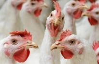 Nebraskans seek information on poultry grower contracts