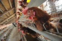 Avian Flu Outbreak Expected in Europe and Asia