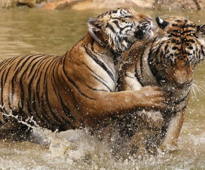 One killed everyday in elephant, tiger attacks in last 3 yrs
