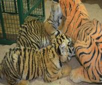 Three orphaned tiger cubs die