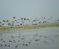 Over 9 lakh migratory birds thronged Chilika Lake this year