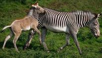 Zebra stripes could save endangered species