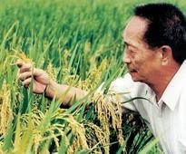 High-latitude super rice yield breaks record