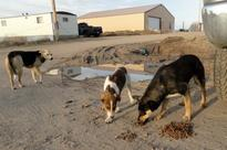 Tests due to see if birth control shots will work in feral dogs on Indian reservations