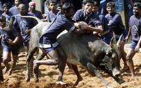 Moh Juj, Assam's traditional buffalo fight, to be held in Morigaon tomorrow