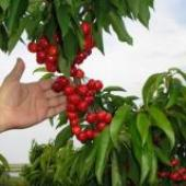 Ninth edition of the Cherry Holiday was officially opened in Kyustendil