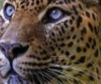 WB: Leopard enters residential area, creates panic
