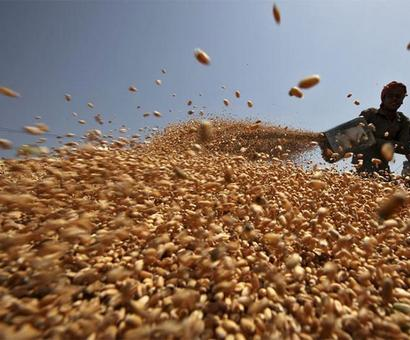 Why prices of wheat and pulses have nosedived