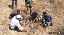 Tigers overshadow Leopard deaths in Maharashtra