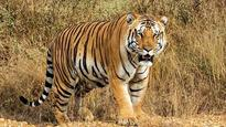 Four tigers find a new home in Gadchiroli district