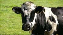 Change in diet may reduce cow methane release: study