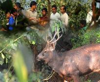 Sambar deer rescued in Delhi, pres..