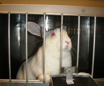 India Moves Closer to Replacing Cruel Chemical Tests on Rabbits