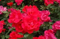 Longhorn Landscape Creations Says New Disease Threatens Knockout Roses