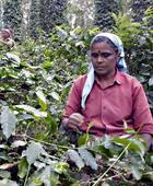 Estate owners anxious as coffee harvesting begins
