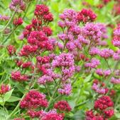Tough love suits red valerian
