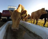 Farmer waters cattle with bathtub in dry southwest Nova Scotia