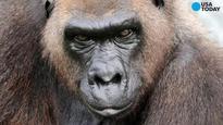Harambe's 49-year-old grandma euthanized at Zoo Miami