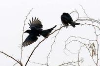 State bird count decreases in Kajligarh forest