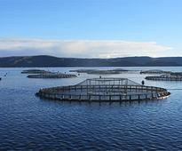 Regulating entity recommends salmon biomass cut in Macquarie Harbour