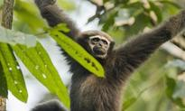 New species of gibbon discovered in China