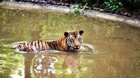 Tiger killed by carnivore in buffer zone of Tadoba Andhari Tiger Reserve