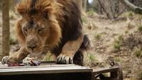 First look at new Indian temple-themed lion exhibit at London Zoo