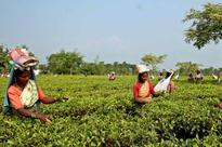 Floods hit tea production in north Bengal