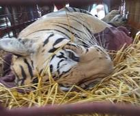 Tiger freed at Red zone in MP, villagers attack officials