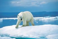 Consequences of Climate Change: Polar Bear Population Shrinking Due to Arctic Sea Ice Melt