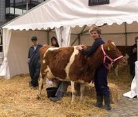 Two Guernsey show cows have moved into Bristol city centre to raise awareness of farming and food production