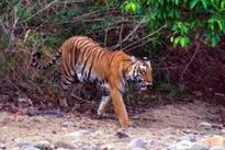 Big cats at Palamau tiger reserve are on the brink of extinction