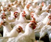 Price issue: Chicken traders in Kerala to down shutters