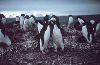 Antarctica home to millions more penguins than thought: study