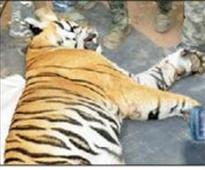 After a week on the prowl, tiger falls to fo...