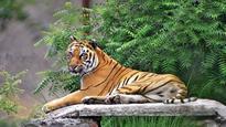 Stop tiger safari in 'Mowgli land': Centre to Madhya Pradesh govt