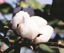 Pest infestation likely to lower cotton output by 10% across major states