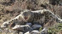 Wounded leopard found in Mustang