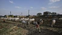 Drought triggers migration, distress sale of cattle in Telangana, Andhra