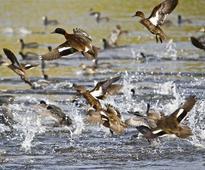 Uttarakhand's Ramnagar a true delight for migratory birds
