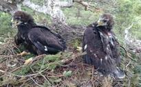 'Disappearing' golden eagle sparks murder mystery row on Scottish estate