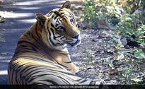 Second Oldest Royal Bengal Tiger Of Borivali National Park Dies