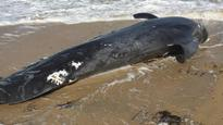 Whale carcass washes up on Fremantle beach