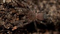 Montserrat tarantulas hatch in captivity for first time