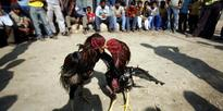 Banned By Law, Cockfighting Spawns A Multi-Crore Betting Business In Andhra Pradesh