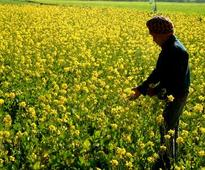 GM Mustard report was not shared with GEAC members before it was released: Scientist