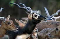 Animals, birds being poached in  Littel Rann of Kutch