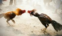 Supreme Court refuses urgent hearing to stop cock fight in Andhra Pradesh
